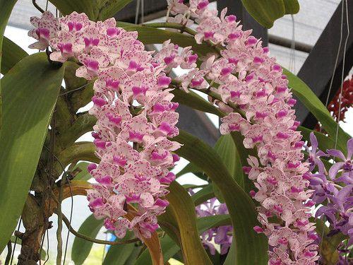 orchidee retombante